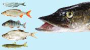 Köderfische für Hecht